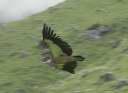 Орел в окрестностях Кедарнатха. Фотография Андрея